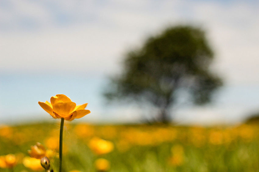 Buttercup Fields Beauty In Nature Blooming Bokeh Buttercup Close-up Day Depth Of Field Field Flower Flower Head Focus On Foreground Fragility Freshness Growth Landscape Landscape_Collection Nature No People Outdoors Petal Plant Sky