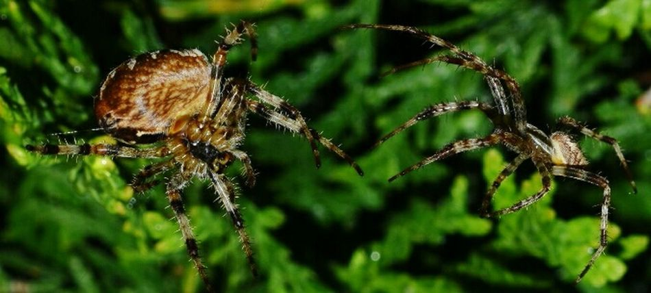 Mating Araneus Diadematus Cross Spider Cross Spiders Male And Female