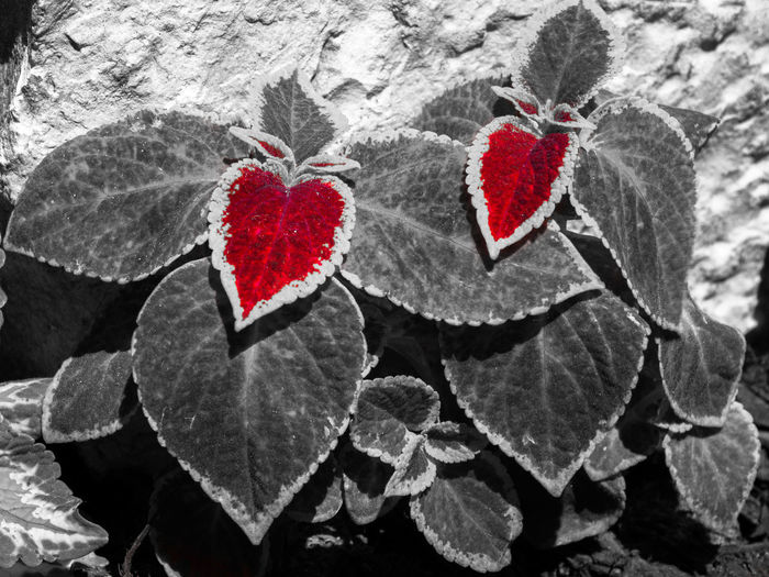 Close-up Day Heart Shape Leaf Love Nature No People Outdoors Red Two Hearts Two Hearts Leaf
