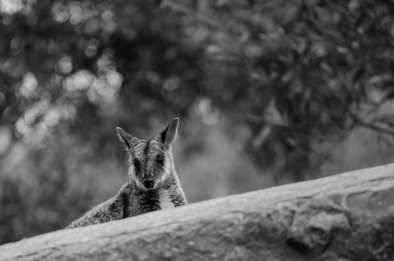 Portrait of wallaby against blurred background