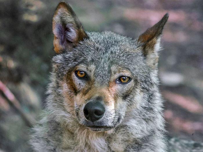Wild Wolf Wild