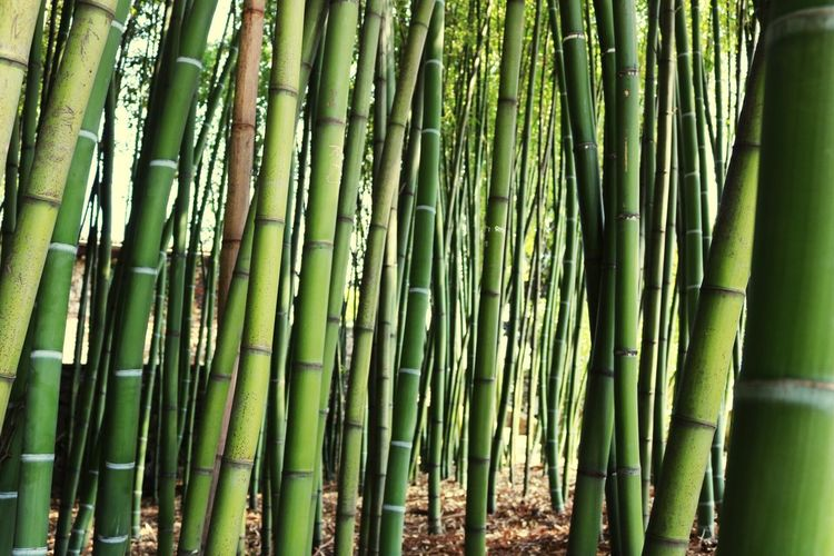 Green Bamboo Forest Nature Beauty In Nature Tranquility