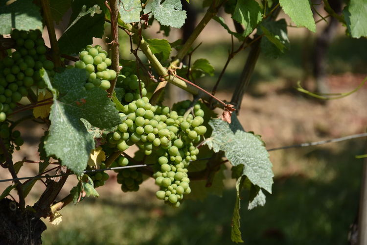 Grapes in Winery in Maastricht, The Netherlands Agriculture Beauty In Nature Focus On Foreground Food Food And Drink Freshness Fruit Grape Grapes Green Color Growth Healthy Eating Leaf Nature No People Outdoors Plant Plant Part Plantation Ripe Tree Unripe Wellbeing Winemaking Winery The Traveler - 2018 EyeEm Awards