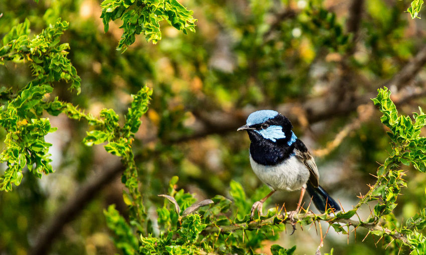 Superb Fairywren (Malurus cyaneus) Amazing Nature Animal Themes Animal Wildlife Animals In The Wild Beautiful Feathers Beauty In Nature Bird Birding Close-up Malurus Cyaneus One Animal Outdoors Perching Shepparton Sigma 50-500mm Songbird  Sony Photography Superb Fairy-wren Wren