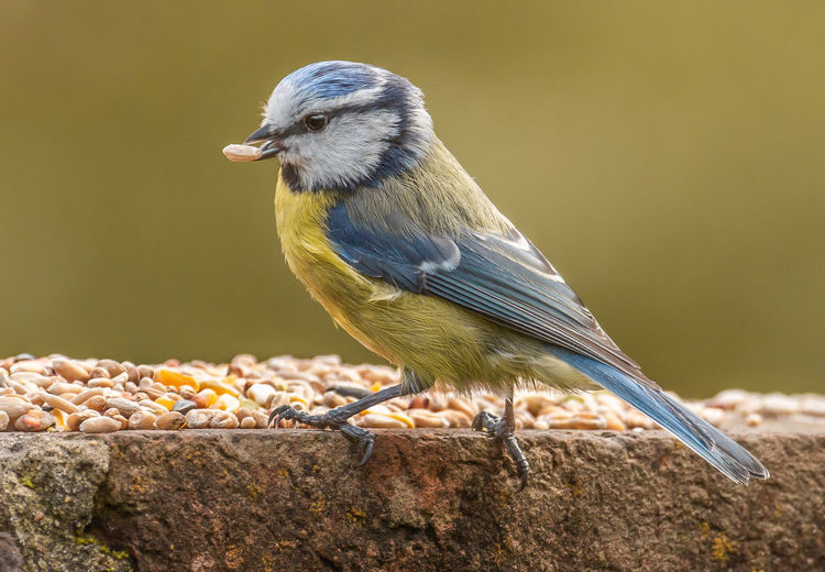Hungry Blue T Exceptional Photographs Animal Animal Themes Animal Wildlife Animals In The Wild Beak Bird Blue Tit, Close-up Day Focus On Foreground Food Looking Looking Away Mouth Open Nature No People One Animal Outdoors Perching Vertebrate Wood - Material Zoology