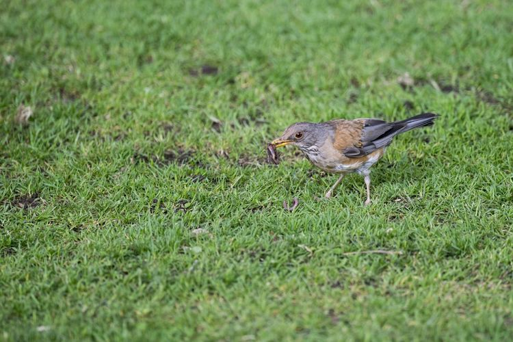 A bird holds an earthworm in a garden in the center of the city. Animal Animal Themes Animal Wildlife Animals In The Wild Bird Close-up Day Field Grass Green Color Land Nature No People One Animal Outdoors Perching Plant Selective Focus Side View Vertebrate