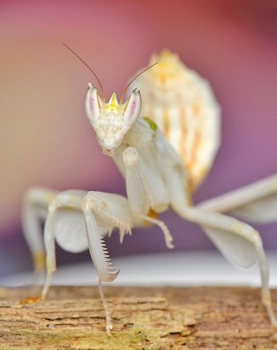 Orchid mantis Animals In The Wild Animal Themes One Animal Animal Wildlife Close-up Insect No People Day Grasshopper Nature Pink Color The Week On EyeEm EyeEmNewHere EyeEm Best Shots EyeEmBestPics Macro Beauty Macro Photography Beauty In Nature Outdoors Orchid Mantis White Mantis Insect Predator
