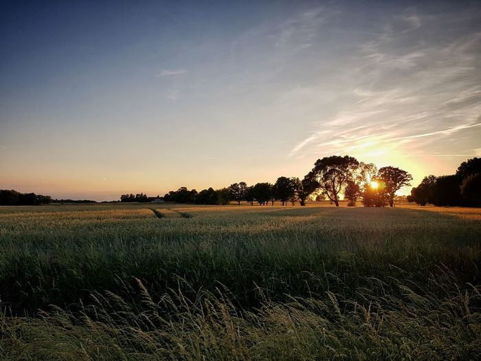 Summer Berlin Tree Rural Scene Agriculture Sunset Field Cereal Plant Sky Landscape Cultivated Land Crop  Farmland Flower Head In Bloom Wheat