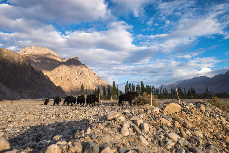 Yaks on field by mountains at nubra valley