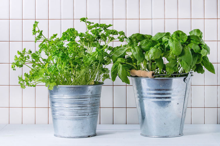 Fresh herbs Basil and Parsley with wet leaves in metal pots over kitchen table with white tiled wall at background. Basil Food And Drink Herbs Bucket Coriander Flower Pot Food Freshness Green Color Growth Healthy Eating Kitchen Kitchen Herbs Nature Plant Potted Plant Seasoning Table Tile Variety Vegetable White Background