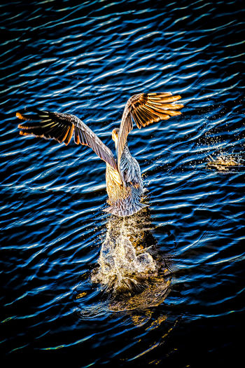 Animal Themes Backgrounds Beauty In Nature Bird Taking Off From The Water Close-up Day Nature No People Outdoors Pelican Water