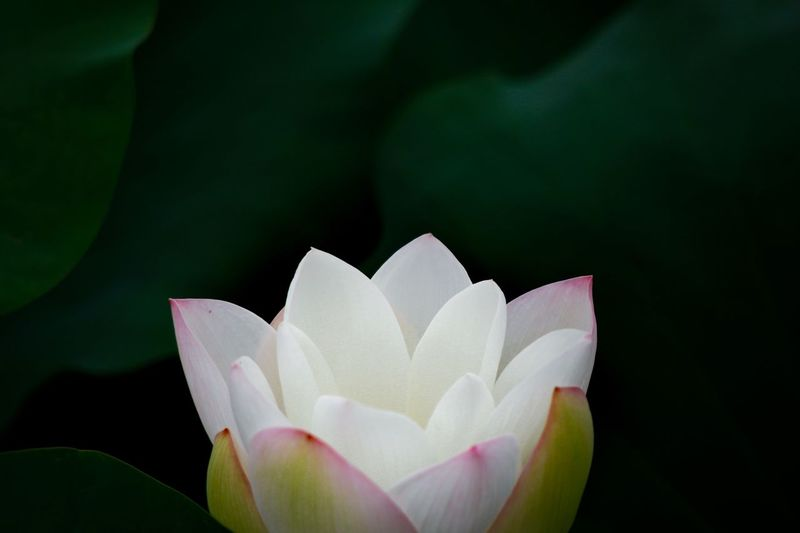 Flower Petal Flower Head Beauty In Nature Fragility Freshness Nature Growth Blooming Close-up White Color Lotus Plant Leaf No People Lotus Water Lily Water Lily Day Outdoors Lotus Flower Lotus Leaf Rose - Flower Plant Freshness Growth