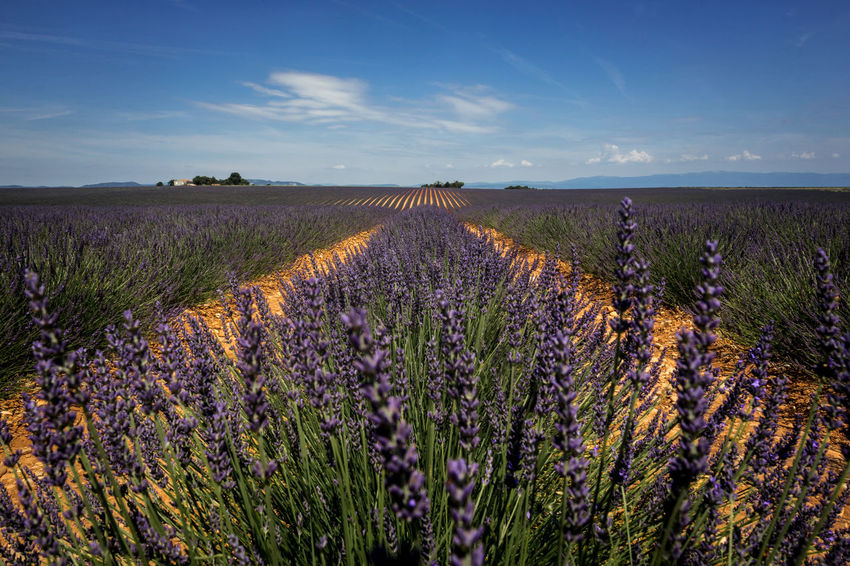 Lavender fields of Valensole, France Agriculture Beauty In Nature Cloud - Sky Environment Farm Field Flower Flowerbed Flowering Plant Growth Land Landscape Lavender Nature No People Outdoors Plant Purple Rural Scene Scenics - Nature Sky Tranquil Scene Tranquility