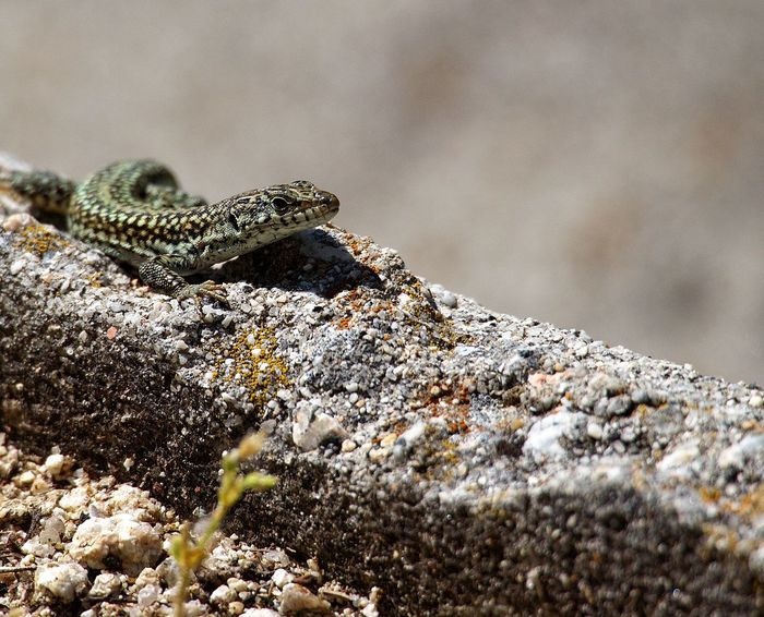 A male of Iberolacerta cyreni, a endemic species from Spain. Animal Bustarviejo Close-up Focus On Foreground Iberolacerta Iberolacerta Cyreni Lizard Madrid Nature Reptile Selective Focus SPAIN