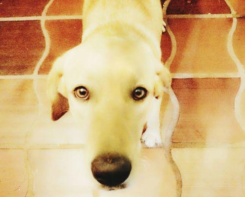 Eu te amo... Jade Labradora Dog