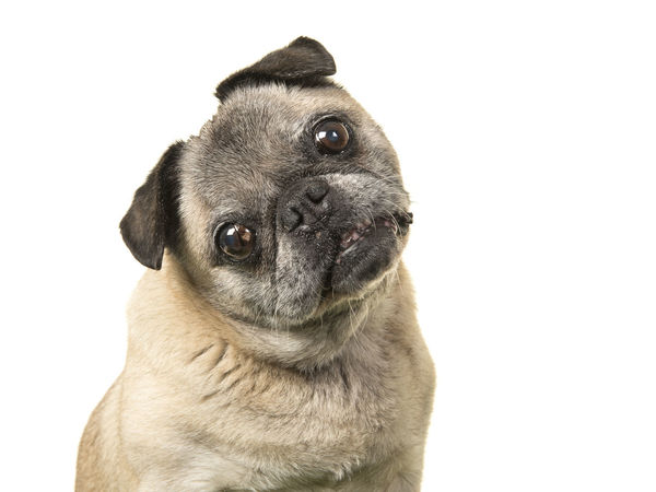 Portrait of a senior dog pug facing the camera and tilting its head on a white background Pug Animal Themes Dog Domestic Animals Mammal Old Dogs Rule Old Dog One Animal Pets Portrait Pug Pug Portrait Senior Senior Adult Studio Shot White Background