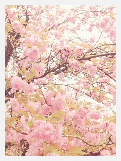 Flower Cherry Blossoms Pink :)