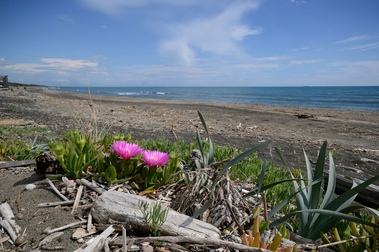 Scenic view of wild Maremma coastline with blooming carpobrotus succulent plant in the foreground, on springtime Sea Water Beauty In Nature Plant Flower Flowering Plant No People Outdoors Grass Horizon Nature Beach Horizon Over Water Sky Tranquil Scene Carpobrotus Edulis Succulent Plant Blooming Pink Flower EyeEm Nature Lover EyeEm Best Edits EyeEm New Here