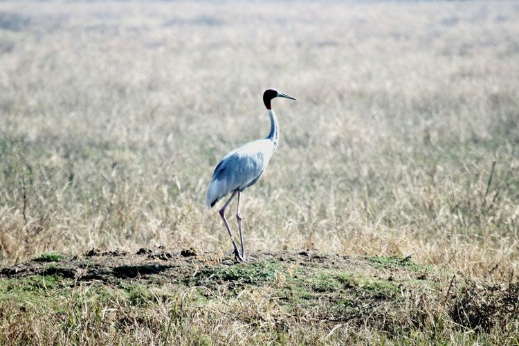 Crane Birdphotography Bird One Animal Animal Wildlife Animals In The Wild Grass Nature Outdoors Crane - Bird Close-up