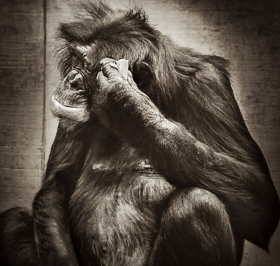 Thinking about ... Ape Chimpanzee Animal Themes Animals In The Wild Chimp Close-up Day Indoors  Mammal Monkey No People One Animal