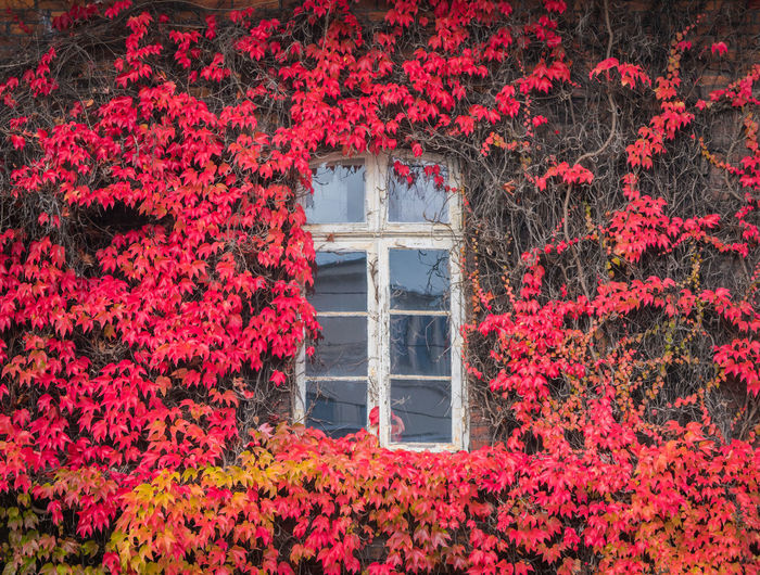 Red ivy on house with white window Plant Red Growth Flower Flowering Plant Architecture Nature Beauty In Nature Built Structure No People Leaf Plant Part Change Day Building Exterior Freshness Autumn Outdoors Fragility Vulnerability