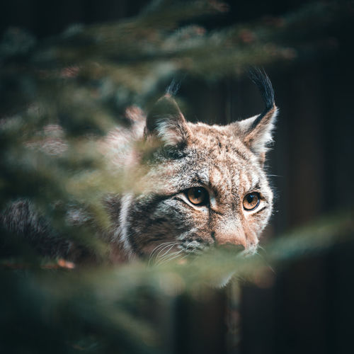 Close-up of lynx seen through branches