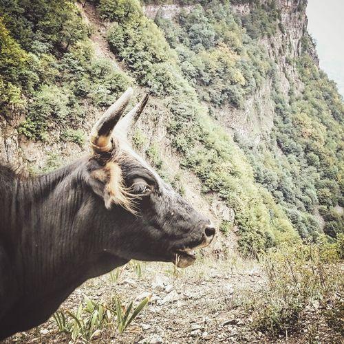 Cowly Cow Bull Mountains Mountain View Mountain Hiking Wildlife & Nature Azadkooh Iran