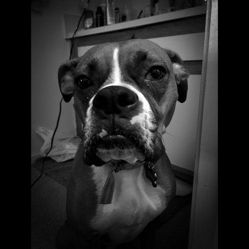 Cheese! Dog Cute Pets Portrait Animal B&w Blackandwhite Boxer Adorable Funny
