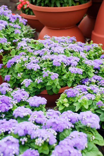 Close-up of purple flowers in pot