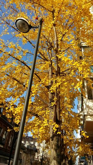 Gingko tree. Krasnodar. гингко Gingko Tree Gingko Gold Gold Autumn Low Angle View Built Structure Architecture Day No People Full Frame Building Exterior Tree