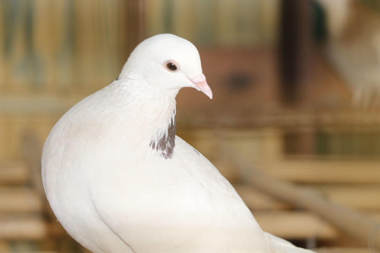 CLOSE-UP OF WHITE BIRD PERCHING ON WOOD