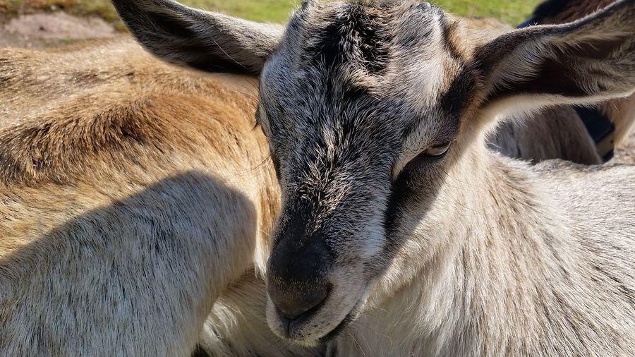 Goatlife Day Outdoors Pet Portraits Samsung Galaxy S6 Goats Head Goat Babygoat Goatsarecool Goatslife Animal Themes Goatworthy Goats Eyemgoats Goats On The Farm Goatkid