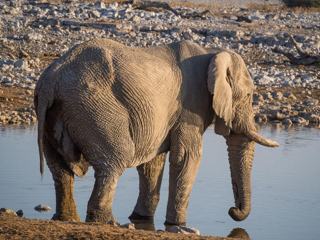 African Elephant Animal Themes Animal Trunk Animal Wildlife Animals In The Wild Day Drinking Elephant Full Length Mammal Nature No People One Animal Outdoors Safari Animals Standing Tusk Water