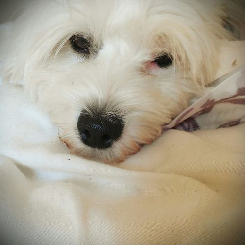 Dog Love Havanese White Cute Dog  Sleepy