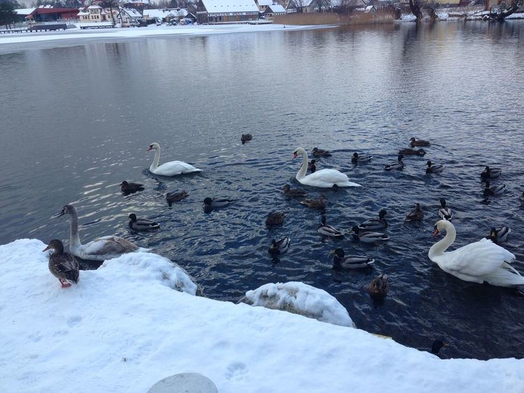 Winter Wonderland Swans Ducks Swan Lake Crowd Duck Winter