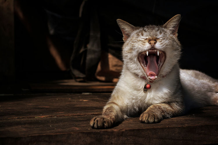 Animal Themes Close-up Day Domestic Animals Domestic Cat Mammal No People One Animal Pets Waking Up Yawning