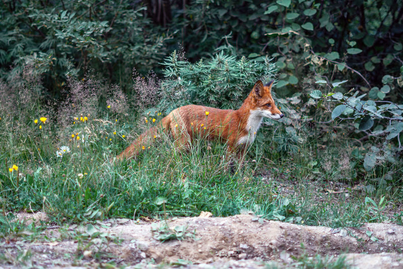 Animal Themes One Animal Animal Mammal Animal Wildlife Animals In The Wild Vertebrate Plant Nature Side View Land Fox Forest No People Full Length Day Outdoors Grass Tree Field Profile View