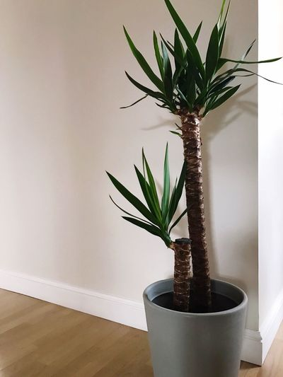 Growth Plant Potted Plant Indoors  Table Home Interior No People Nature Day Close-up Yucca Elephantipes Flower Home Flowers Home Interior No People