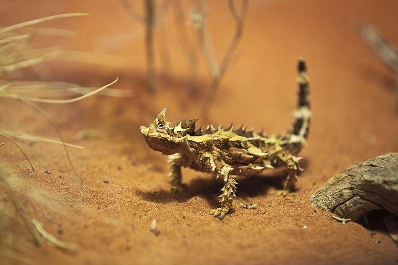 Animal Australia Drogon Lizard Outback Ph-foto Sand Sandy Thorns Thorny Devil