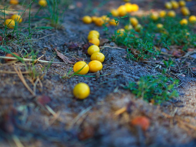 Wild yellow plums fall on the soil in forest Selective Focus Yellow Plant Day No People Nature Growth Close-up Land Plant Part Leaf Food Field Fungus Outdoors Vegetable Beauty In Nature Food And Drink Green Color Mushroom Small Lichen Fruit Plum Blossom