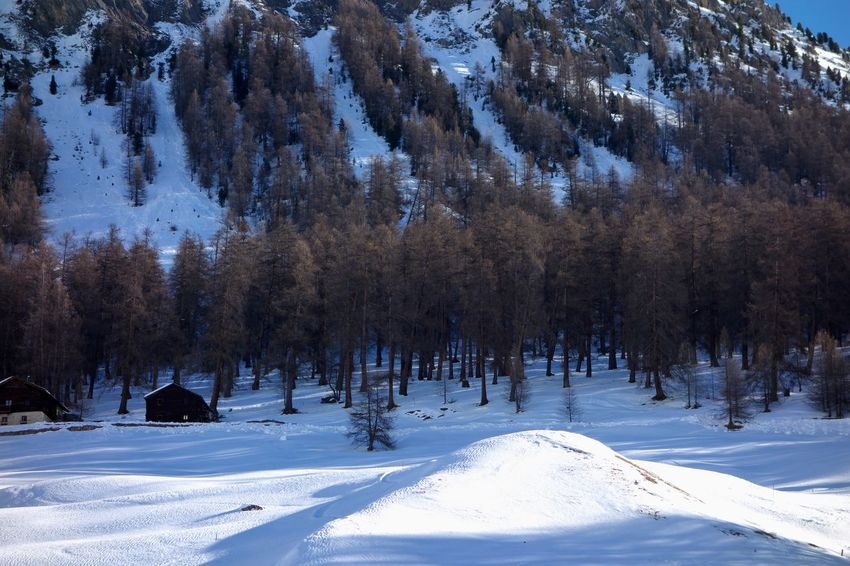Snow Winter Cold Temperature Tree Beauty In Nature Scenics - Nature Tranquil Scene Nature Tranquility Non-urban Scene Mountain Environment Covering White Color No People Day Outdoors Snowcapped Mountain Pine Tree Coniferous Tree