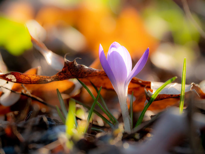 Plant Flowering Plant Flower Growth Selective Focus Vulnerability  Close-up Fragility Petal Beauty In Nature Freshness Nature No People Day Flower Head Inflorescence Crocus Leaf Land Plant Part Outdoors Iris