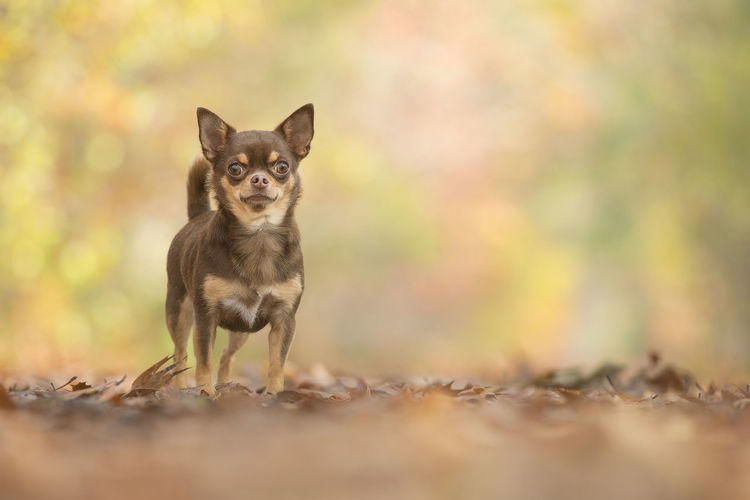 Pretty standing chocolate chihuahua dog seen from the front in a autum forest Chihuahua Chihuahua - Dog Chihuahua Love ♥ Chocolate Fall Forest Autumn Autumn Leaves Autumn🍁🍁🍁 Forest Lane One Animal Domestic Looking At Camera Canine Dog