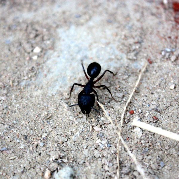 Ant Closeup Focus Canoneos450D Irfan InstaBug Instapic Instaant Black