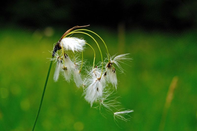 Fluffy Focus On Foreground Plant Fragility Close-up Vulnerability  Flower Growth White Color Nature Dandelion Outdoors