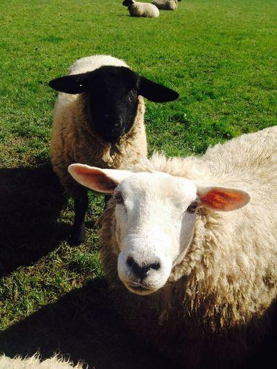 Animal Animal Themes Curiosity Field Grass Herbivorous Livestock Pasture Sheep Two Animals Wool
