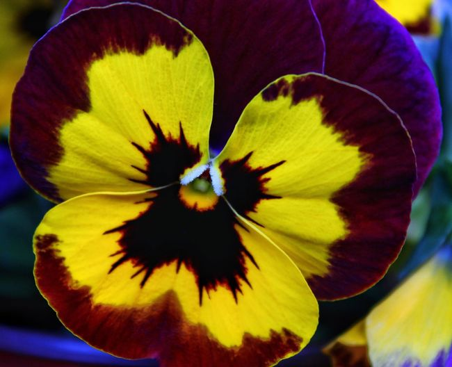 Flower Fragility Beauty In Nature Petal Flower Head Nature Freshness Yellow Plant Close-up Growth Pansy Pansies Pansy Flower Pansy Close Up Yellow Flower Yellow Color Yellow Pansy EyeEm EyeEm Best Shots EyeEm Flower EyeEm Flowers Collection Purple Flower Purple Flowers Yellow And Purple