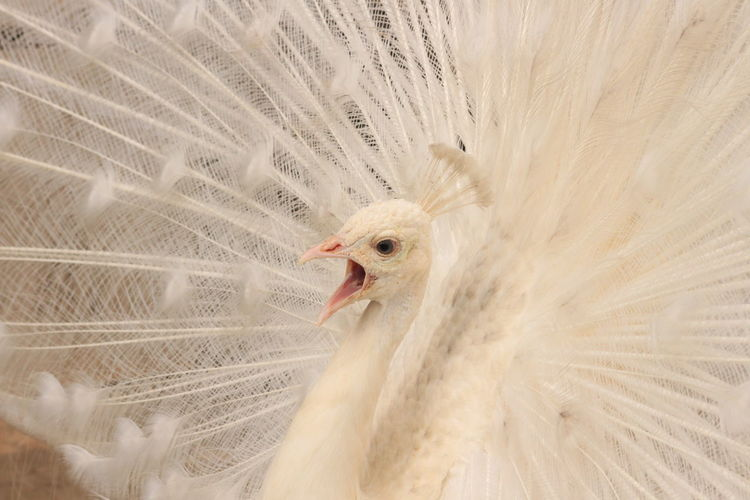 White peacock with fanned out feathers and mouth open