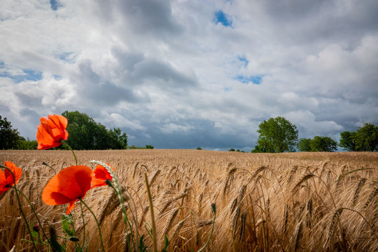 Scenic view of poppy field against cloudy sky