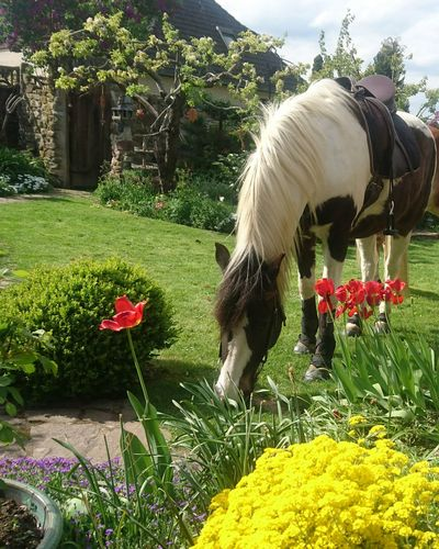Heute haben wir mal wieder einen Ausritt nach Hause in meinen Garten gemacht. Outdoors Beauty In Nature EyeEm Nature Lover EyeEm Selects Beautiful Day Frisches Grün Outdoor Photography Horse Photography  Ausritt In Der Natur Frühling Flower Grazing Animal Themes Grass